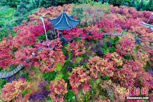 重庆五洲园500亩红枫层林尽染美如画