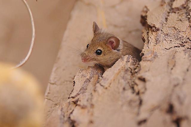 香港发现全球首例老鼠传染给人类戊型肝炎个案