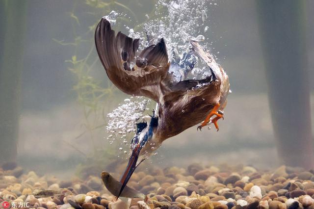 震撼!英摄影师记录翠鸟水下捕鱼精准瞬间