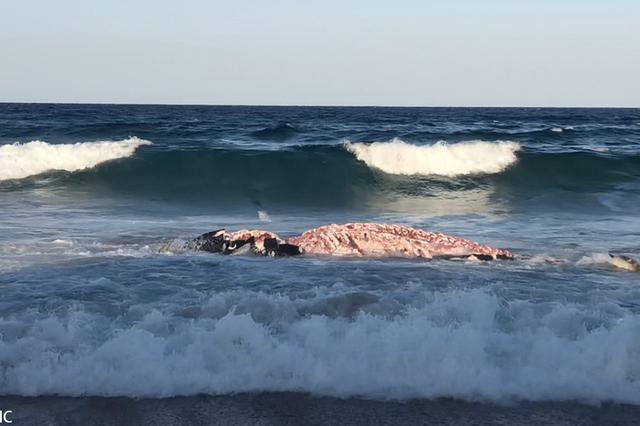 为了一口吃的!吃货虎鲨冒死搁浅享用座头鲸尸体
