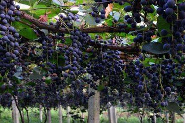 石家庄:哥仨嘴馋多次偷葡萄 一起进了看守所