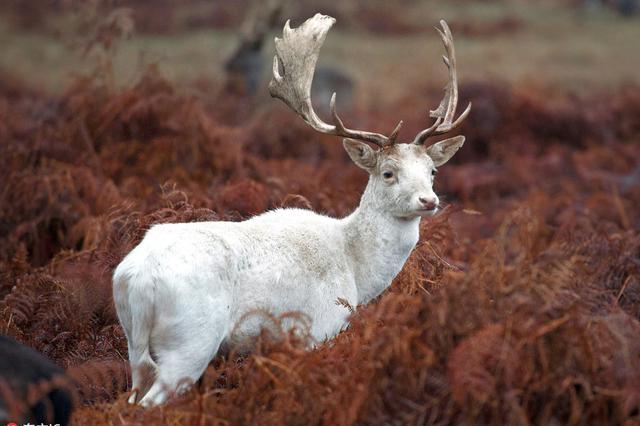 超罕见白鹿现身伦敦公园 恍如童话精灵