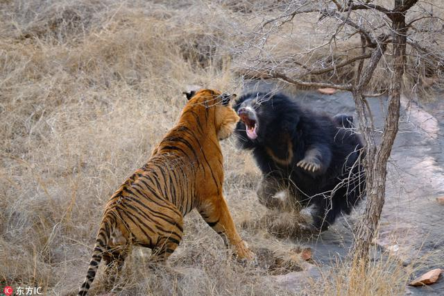 母爱爆发!印度母熊勇猛逼退两头老虎