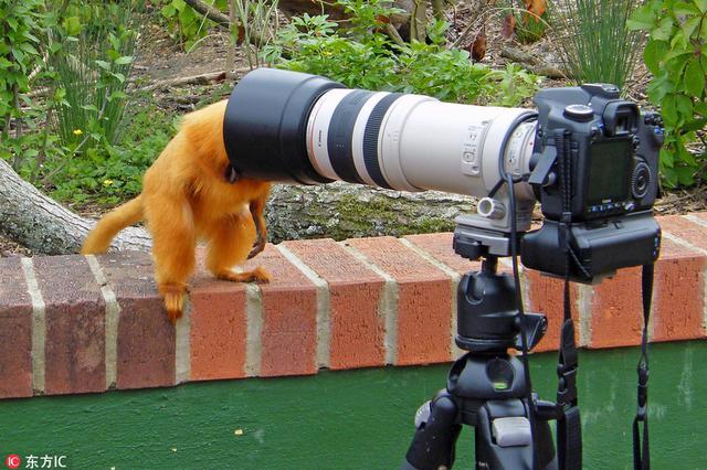 可爱金狮狨上线当摄影师 脑袋钻进遮光罩站错位置