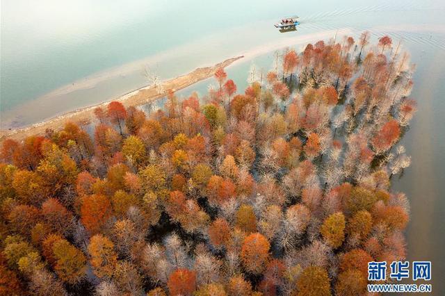 红杉林染秋色