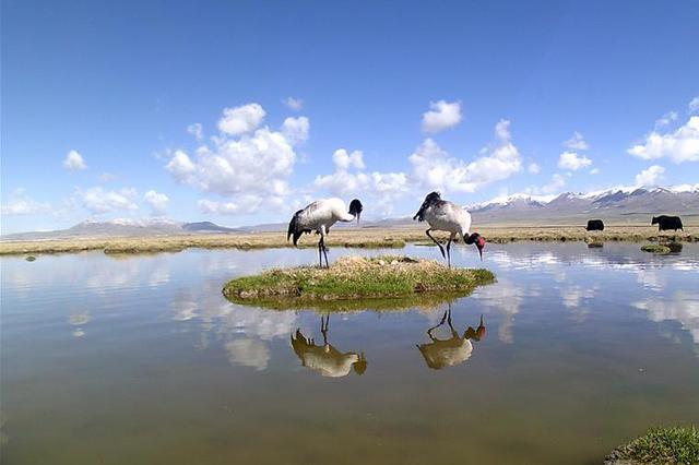 青海祁连山地区首次采集到黑颈鹤孵化影像