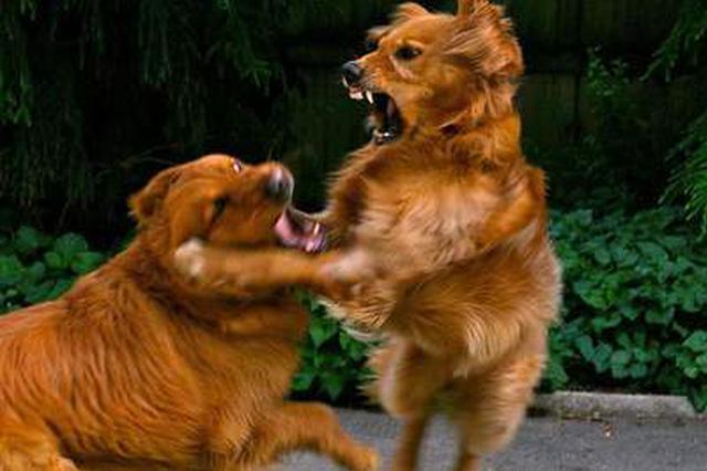 俩狗打架一条吃了亏 主人不服输伤人被判拘役4个月