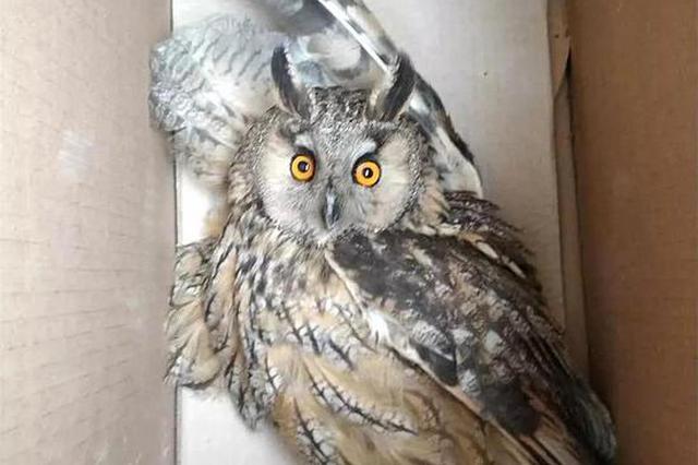 沧州:野外遛弯发现受伤长耳鸮 通过群聊及时救助
