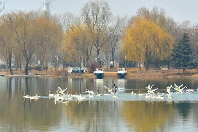 """石家庄植物园飞来30只白天鹅 """"降临""""并非首次"""