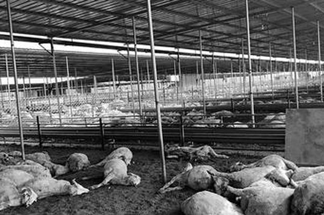 保定一村民养殖的540只羊离奇死亡 疑有人投毒