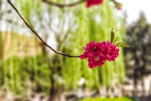 石家庄最美花季来了 给你最美颜色看看