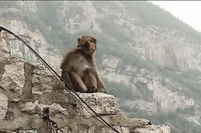 大圣造访井陉乏驴岭 森林公安:应该是太行山猕猴