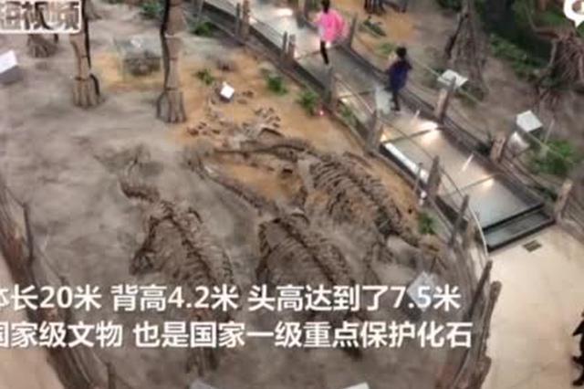 """河北校园里的""""侏罗纪公园""""走红 藏20米长恐龙化石"""