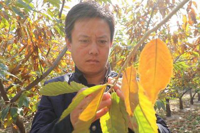 板栗专家王广鹏:最幸福的事就是泡在果树林里