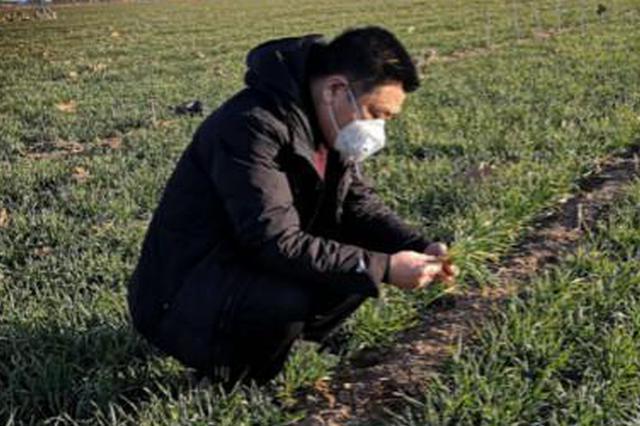 河北:小麦长势良好 降水较往年偏多利于返青