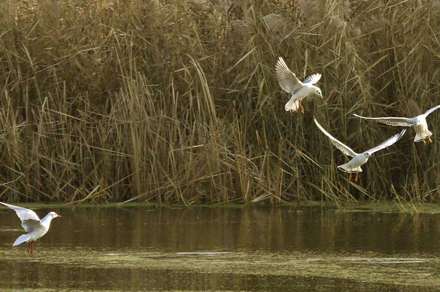 河北衡水湖吸引数万只北迁候鸟嬉戏