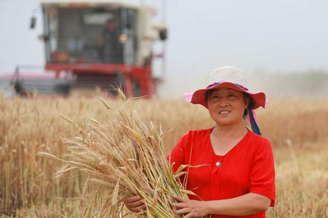 河北:机收小麦3033万亩 夏粮丰收已成定局