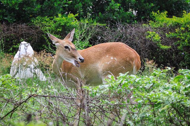 国家一级保护动物坡鹿进入产仔期