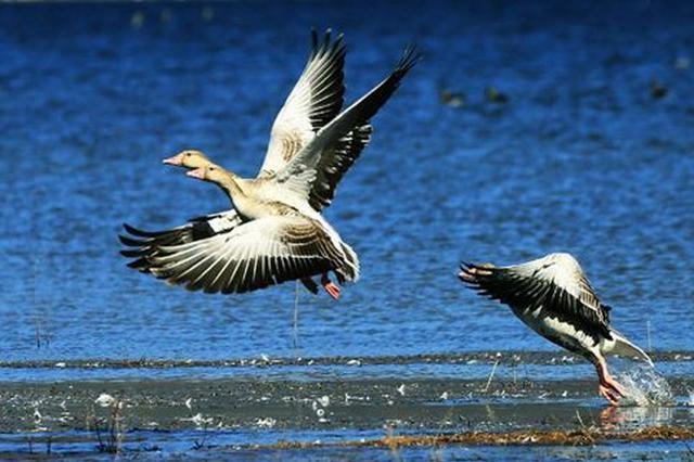 河北坝上闪电河国家湿地公园首次发现斑头雁
