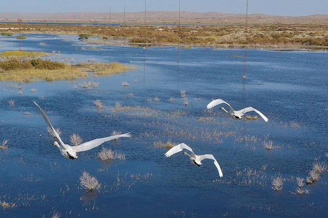新疆巴州:博斯腾湖畔天鹅起舞