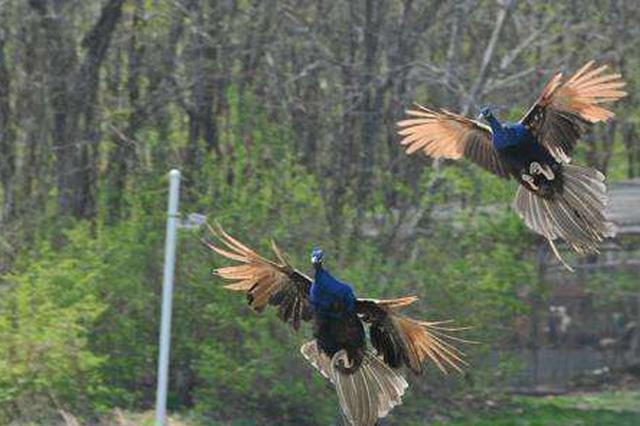 针对非法架网捕鸟事件,河北唐山海港区联动开展地毯式清查