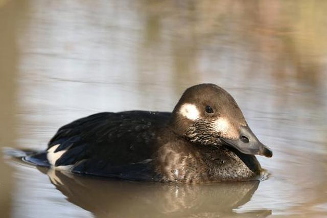 """受伤""""丑小鸭""""在河北坝上获救 当地发现鸟类增至189种"""