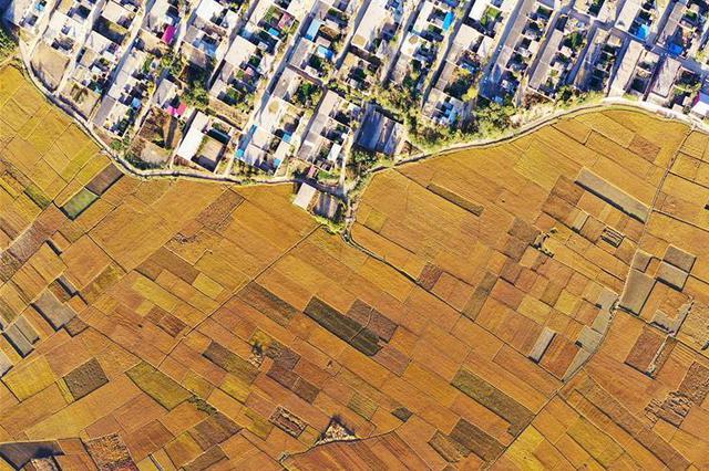 河北滦州:水稻丰收 遍地金黄