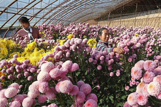 河北万全:发展大棚花卉产业 助农脱贫增收
