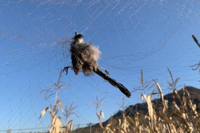 网捕成风,有的一只卖数万元——禁令之下仍有人捕贩野生鸟