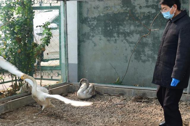 河北沧州:救助患病天鹅
