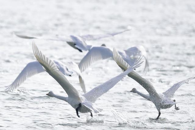 冬日黄河天鹅翔集