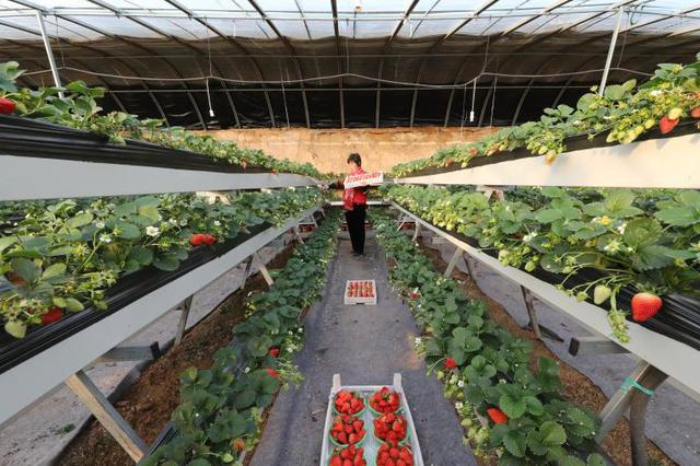 河北顺平:草莓映红致富路