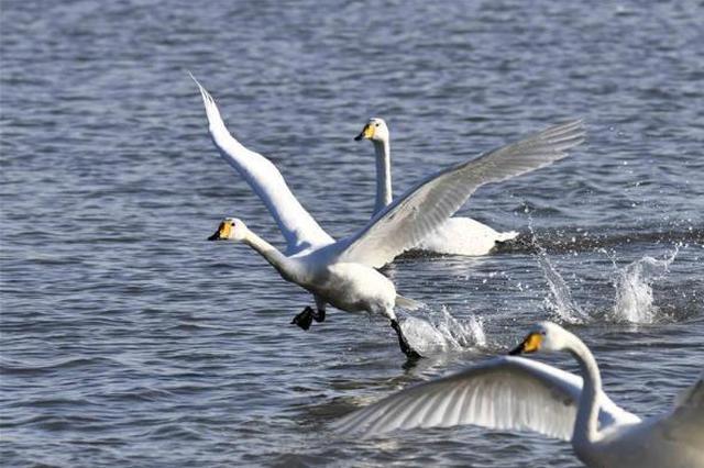 候鸟天鹅北飞 首次驻足河北滦平兴洲河