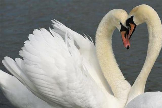 张家口明湖:水鸟增至2000多只