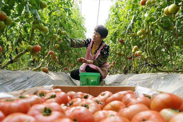 河北抚宁:特色蔬菜种植富农家