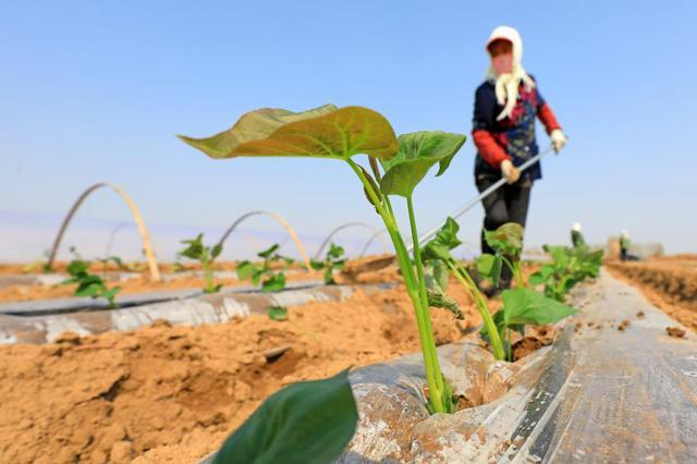 河北滦南:红薯种植忙
