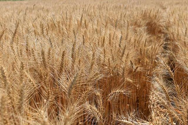 官方部署小麦赤霉病防控:力争将病穗率控制在5%以内