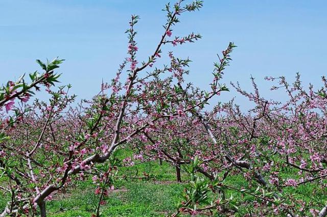 李大钊故里河北乐亭:一个桃花盛开的地方