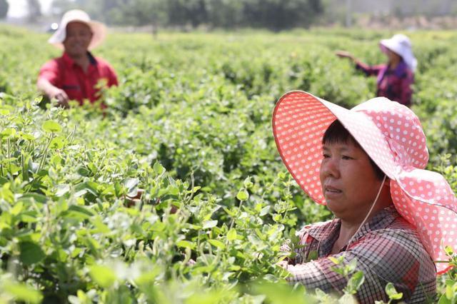 河北隆尧:特色农业助力乡村振兴