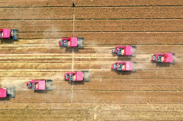 河北小麦进入收获季