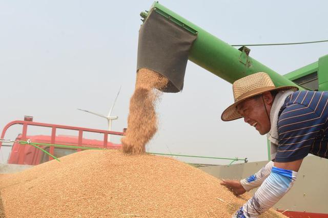 河北黄骅:旱碱麦迎丰收