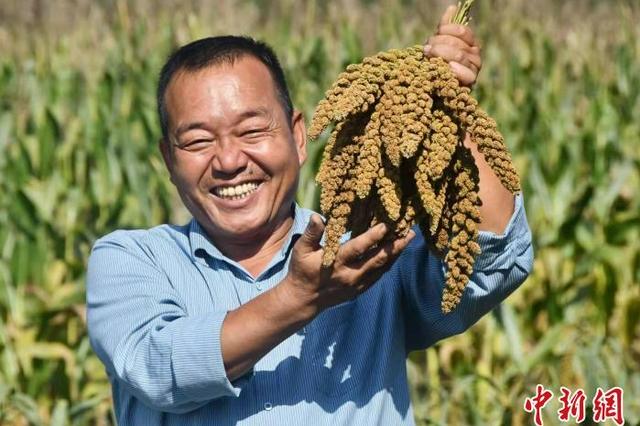 河北永年旱地小米打开海外市场