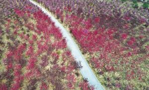 红色的碧桃沿路盛开。