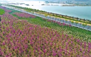 大片紫色的花儿装点河堤路。