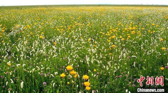 图为张家口张北县实施生态修复草原人工种植的牧草(资料图)河北省林业和草原局供图
