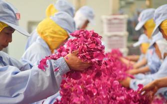 云南万亩食用玫瑰进入盛花期