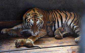雌性東北虎再生五胞胎寶寶
