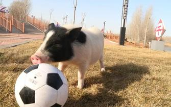 吴桥有只小猪会杂技