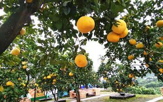 吃柚子,这些事你不一定股票