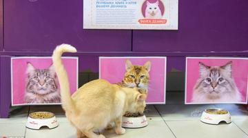 俄猫咪咖啡馆办猫共和国总统选举